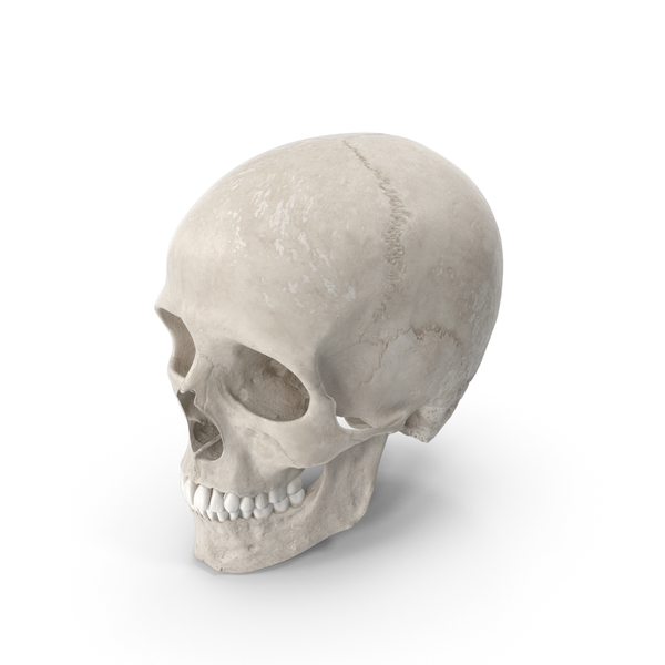 Human Male Skull (Cranial)  With Teeth White PNG & PSD Images
