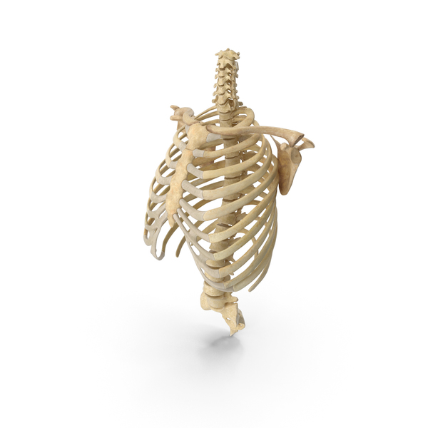 Human Rib Cage Spine Clavicle and Scapula Bones Anatomy PNG & PSD Images