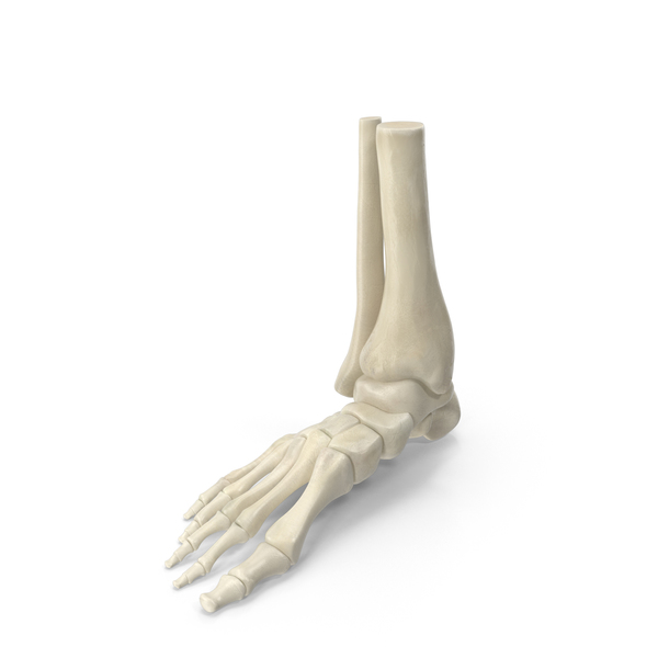 Human Skeleton Foot PNG & PSD Images