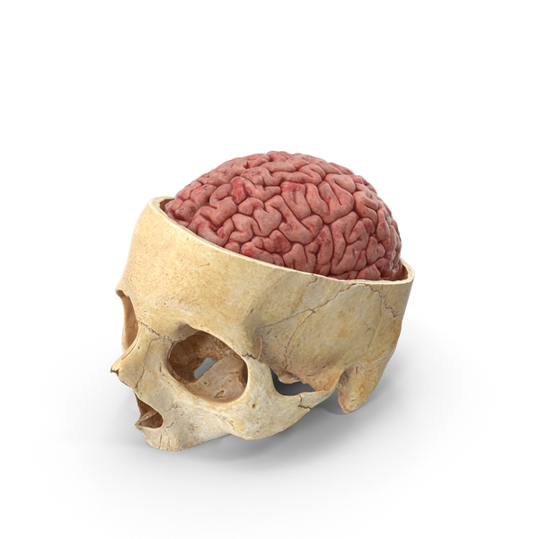 Human Skull Cranial Cut With Brain Inside PNG & PSD Images