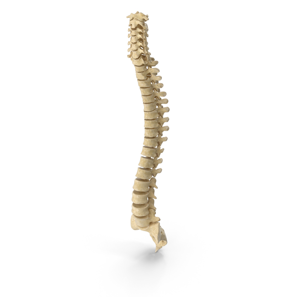 Human Spine Bones Anatomy PNG & PSD Images