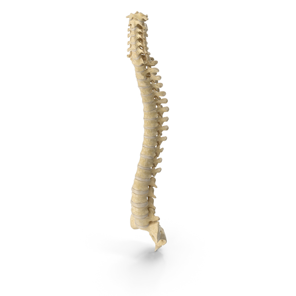 Human Spine Bones Anatomy With Intervertibral Disks PNG & PSD Images