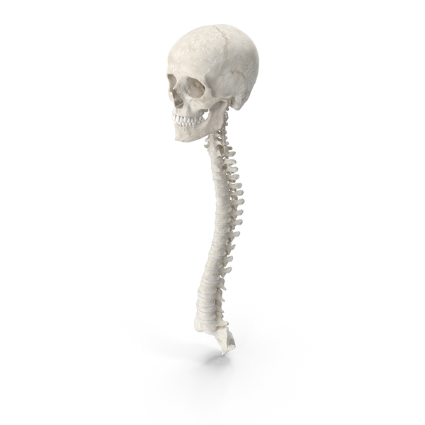Human Spine Bones Female Skull and Jaw Anatomy With Intervertebral Disks White PNG & PSD Images