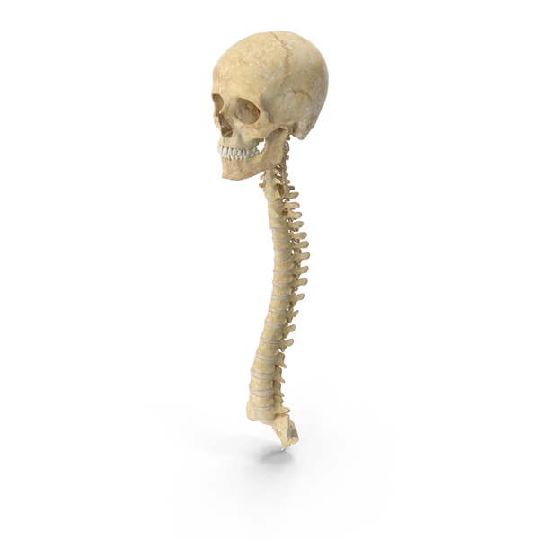 Human Spine Bones Female Skull and Jaw Anatomy With Intervertibral Disks PNG & PSD Images