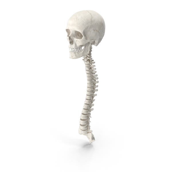 Human Spine Bones Male Skull and Jaw Anatomy with Intervertebral Disks White PNG & PSD Images