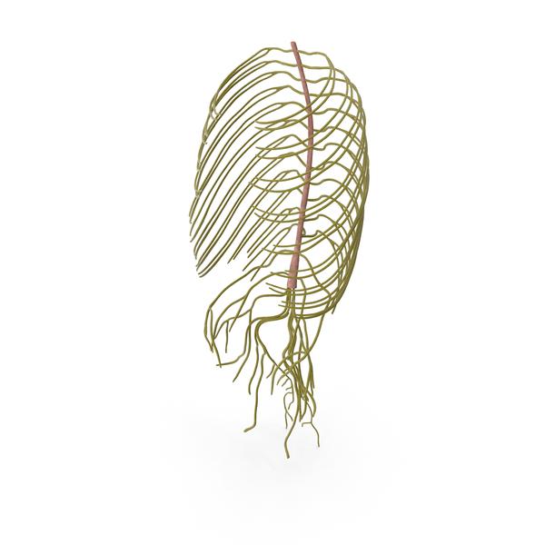 Human Torso Nervous System PNG & PSD Images