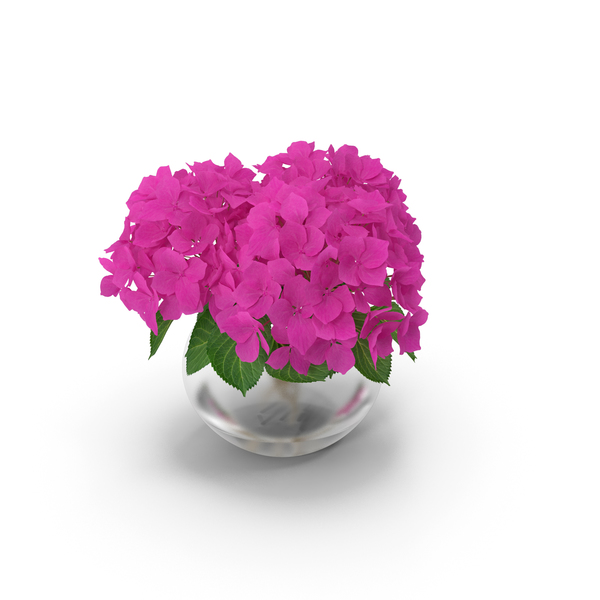 Hydrangea Macrophylla Pink Annabelle in Glass Vase PNG & PSD Images
