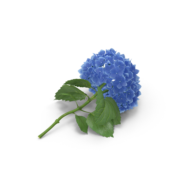 Hydrangeas PNG & PSD Images