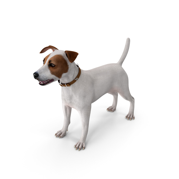 Jack Russell Terrier White PNG & PSD Images