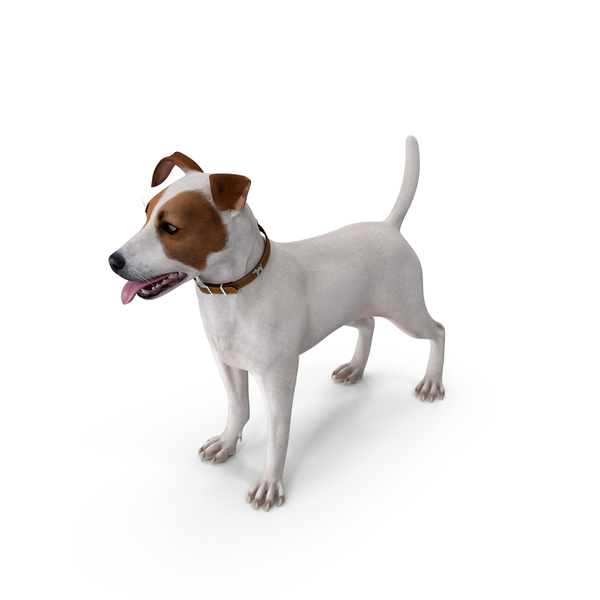 Jack Russell Terrier White Attention Pose PNG & PSD Images