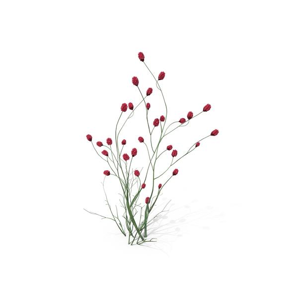 Flowering Plants: Japanese Burnet PNG & PSD Images
