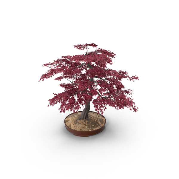 Japanese Maple Bonsai PNG & PSD Images
