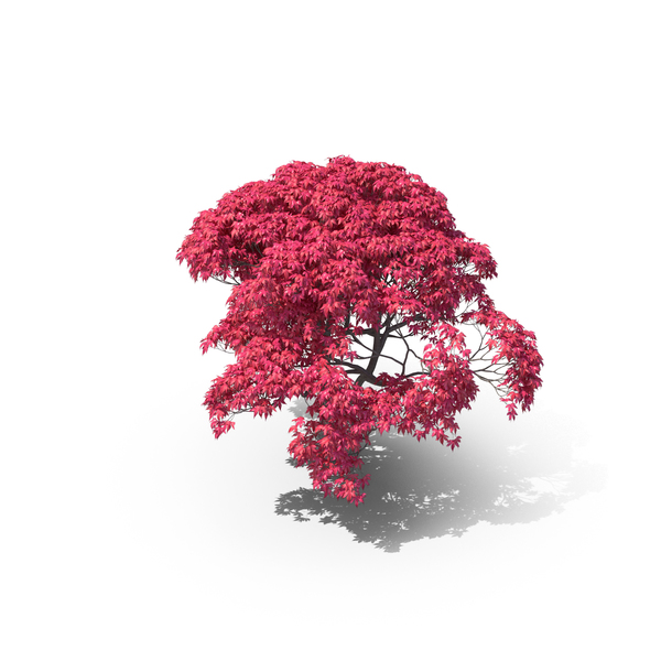 Japanese Maple Tree PNG & PSD Images