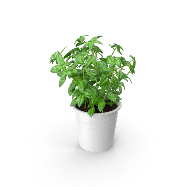 Herbs: Kitchen Herb Basil PNG & PSD Images