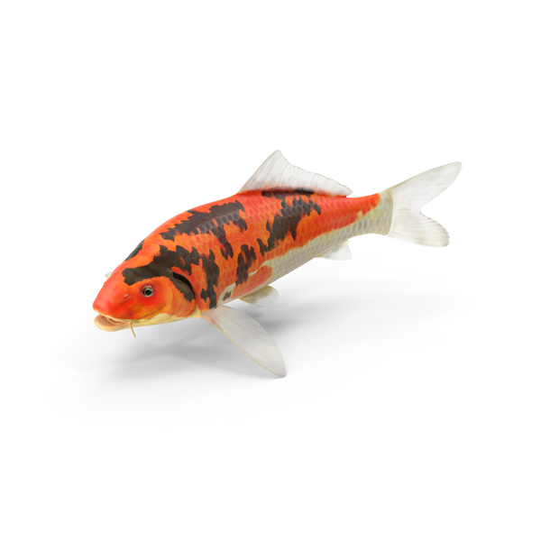Koi Fish Object