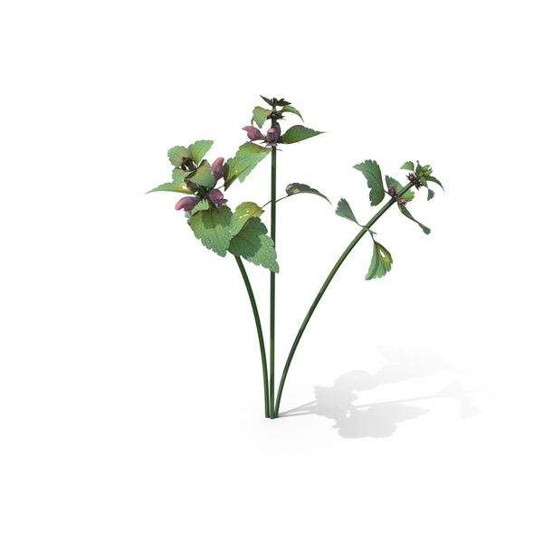 Flowering Plants: Lamium Purpureum PNG & PSD Images