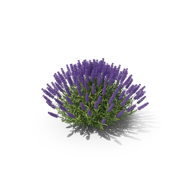 Lavandula Bush Full PNG & PSD Images