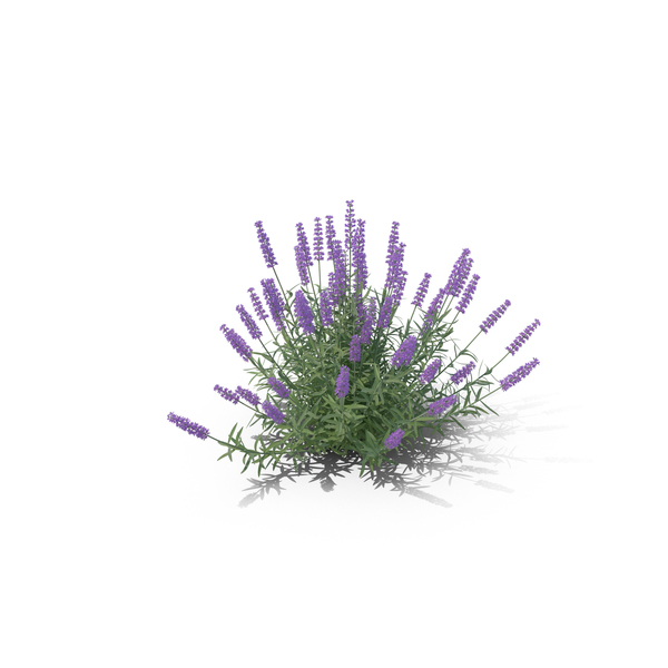 English Lavender: Lavandula PNG & PSD Images