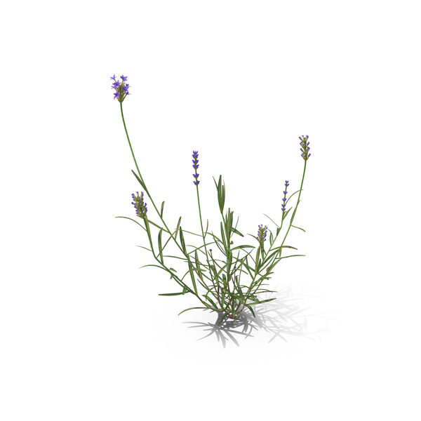 English: Lavender PNG & PSD Images
