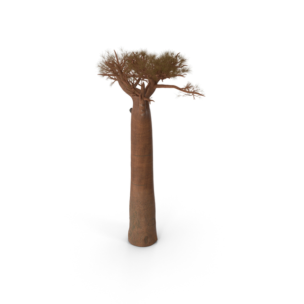 Leafless Baobab PNG & PSD Images