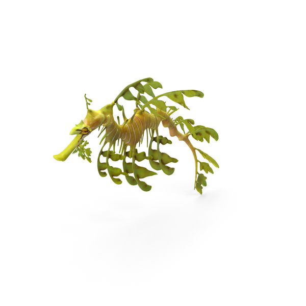 Leafy Seadragon PNG & PSD Images