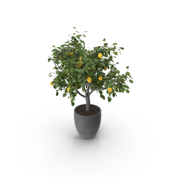 Lemon Tree PNG & PSD Images