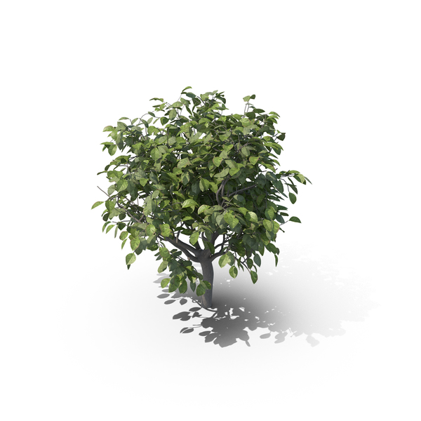 Lemon Tree without Lemons PNG & PSD Images