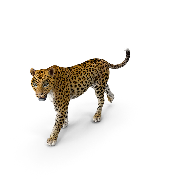 Leopard Walking Pose PNG & PSD Images