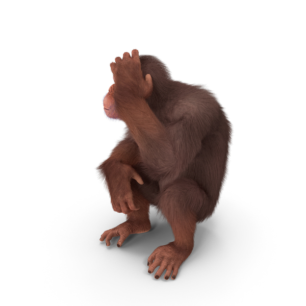 Light Chimpanzee Sitting Pose Fur PNG & PSD Images