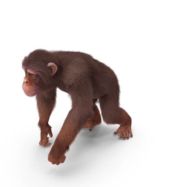 Light Chimpanzee Walking Pose Fur PNG & PSD Images