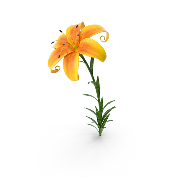 Lily PNG & PSD Images
