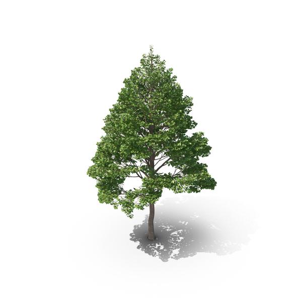 Tilia: Linden Tree PNG & PSD Images