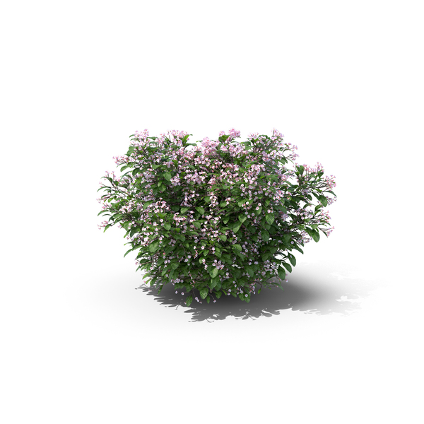 Madagascar Periwinkle PNG & PSD Images