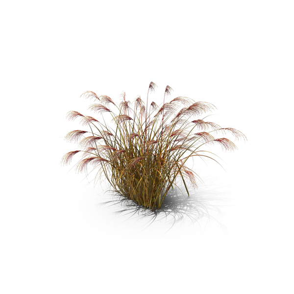 Maiden Grass PNG & PSD Images