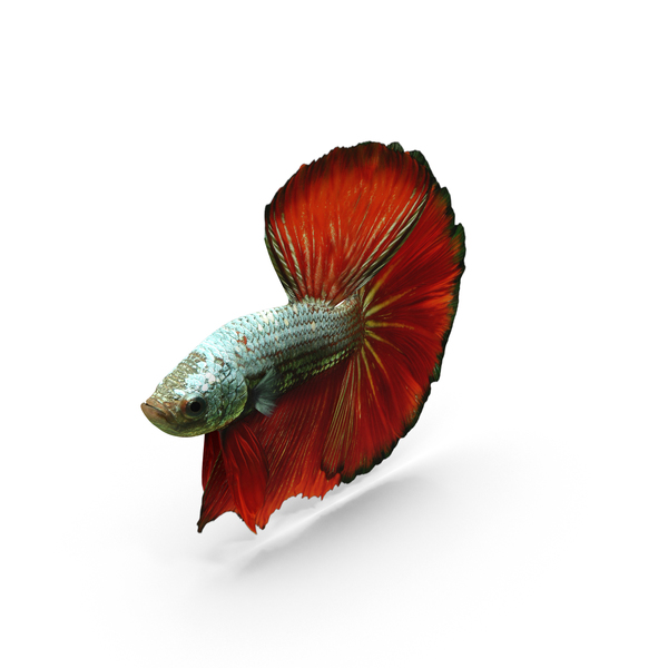 Male Betta Fish PNG & PSD Images