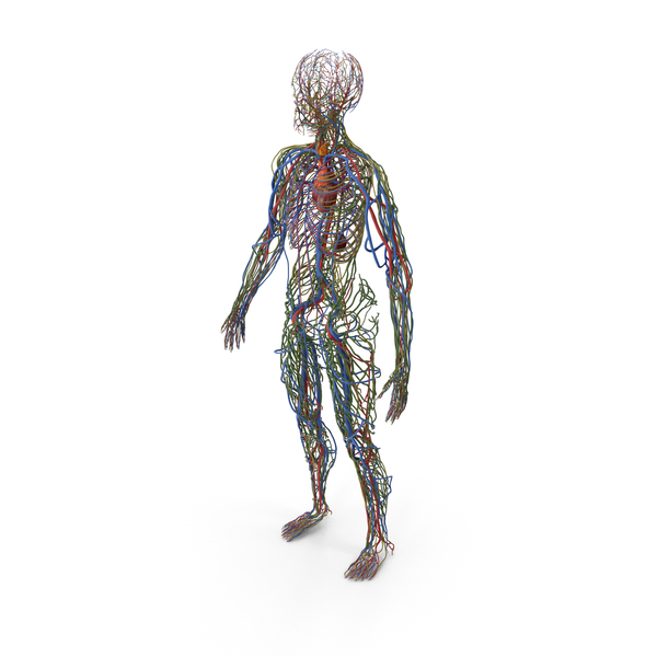 Male Cardiovascular Lymphaticand and Nervous Systems PNG & PSD Images