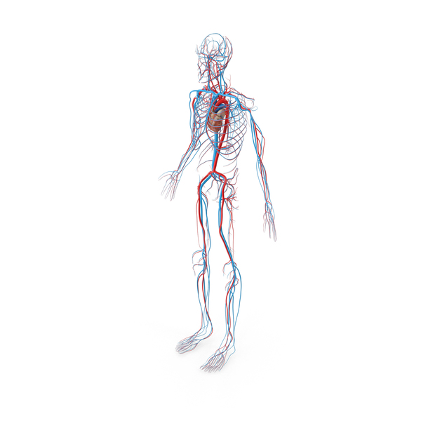 Male Circulatory System PNG & PSD Images