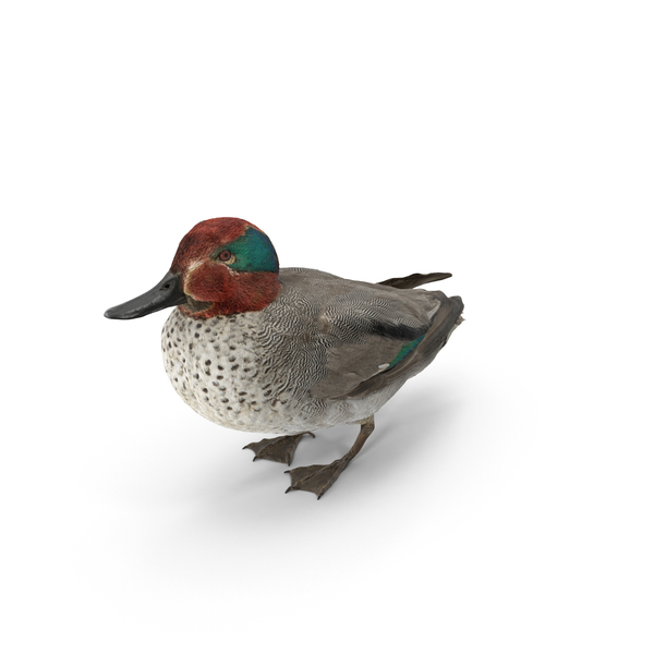 Duck: Male Eurasian Teal PNG & PSD Images