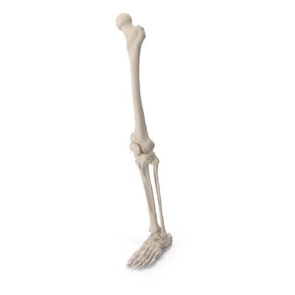Male Leg Skeleton PNG & PSD Images