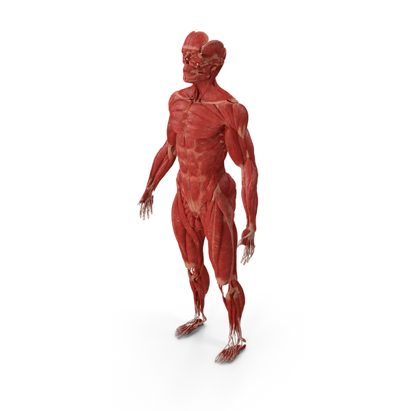 Male Muscular System Full Body PNG & PSD Images