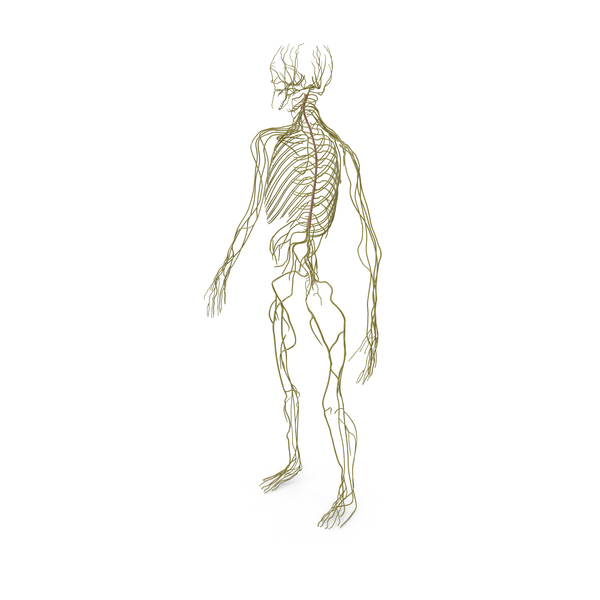 Male Nervous System Full Body PNG & PSD Images