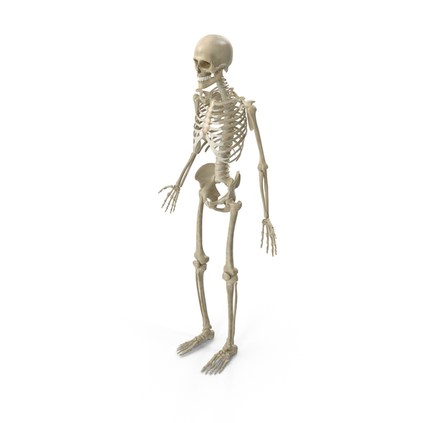 Human Skeleton: Male Skeletal System PNG & PSD Images