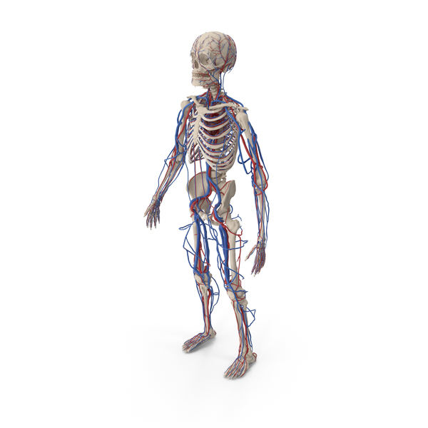 Male Skeleton and Cardiovascular System PNG & PSD Images