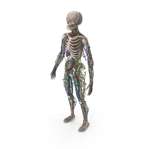 Male Skeleton Cardiovascular Lymphaticand and Nervous Systems PNG & PSD Images