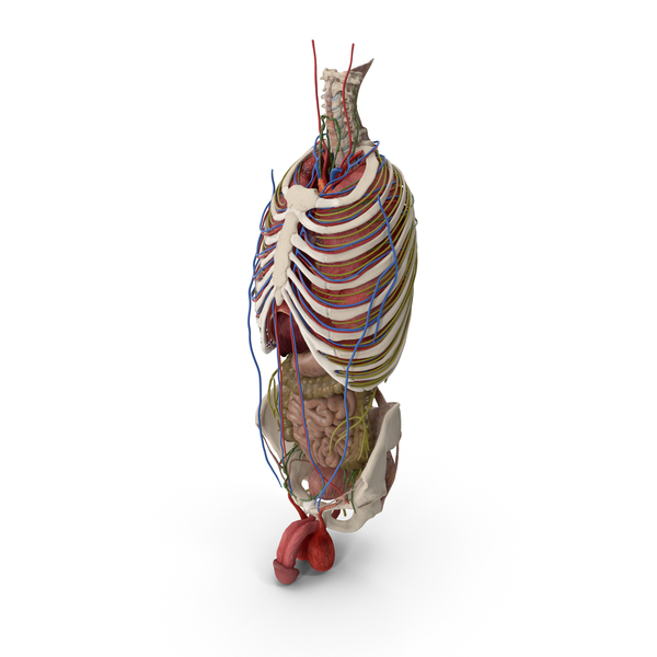 Male Torso and Internal Organs Anatomy PNG & PSD Images