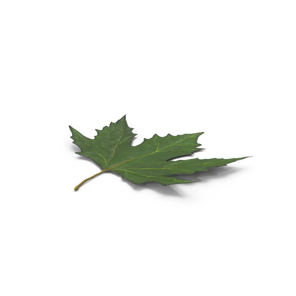 Maple Leaf PNG & PSD Images