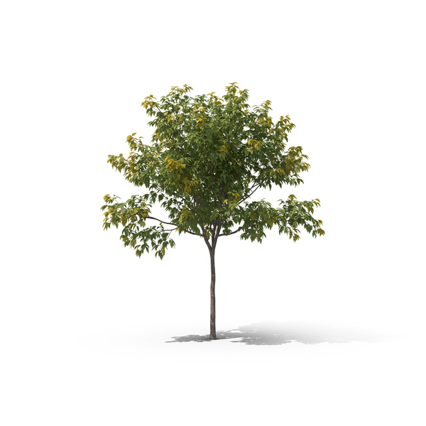 Maple Tree Object