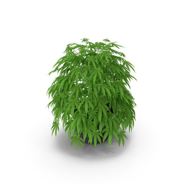 Marijuana Plant in a Pot PNG & PSD Images