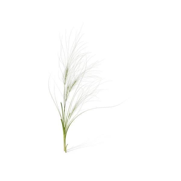 Grasses: Medusahead PNG & PSD Images