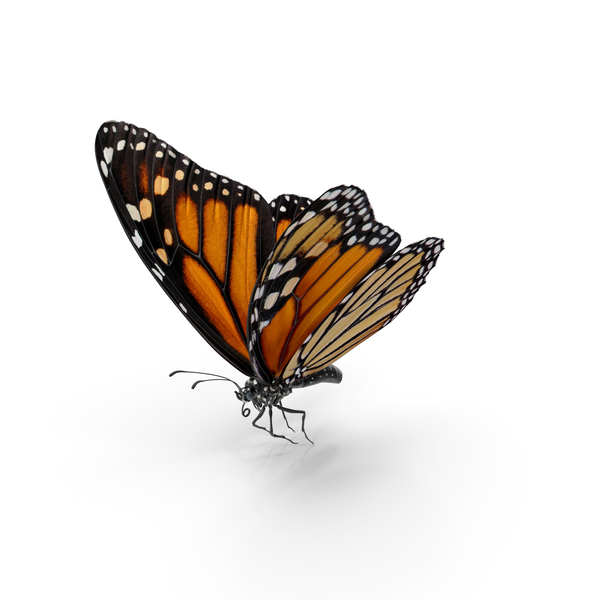 Monarch: Milkweed Butterfly Flying Pose PNG & PSD Images
